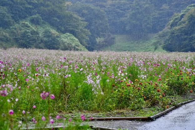 写真: 激しく降る雨のくりはま花の国コスモス畑 20171015