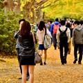 外国人で賑わう昭和記念公園いちょう並木 20171104