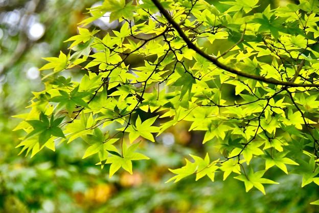 紅葉の中でまだ青い葉。。昭和記念公園 20171104