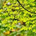 Photos: 紅葉の中でまだ青い葉。。昭和記念公園 20171104