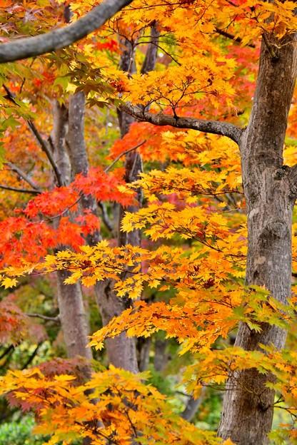 見事な昭和記念公園日本庭園の紅葉 色づき 20171104