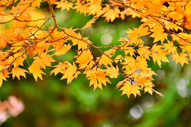 緑に色づく紅葉。。(^^)昭和記念公園日本庭園 20171104