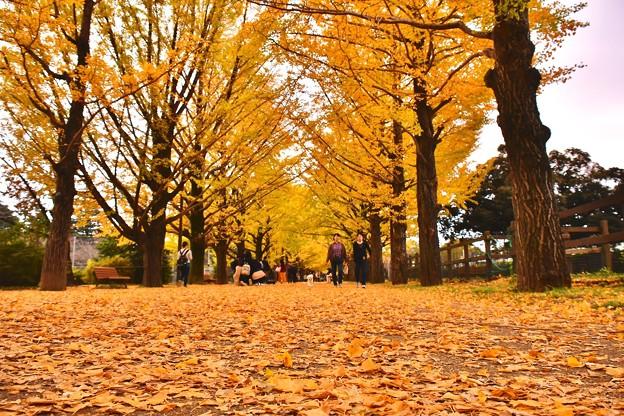 綺麗に落ちたいちょうの葉。。絨毯の様な。。20171104