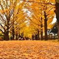Photos: 綺麗に落ちたいちょうの葉。。絨毯の様な。。20171104