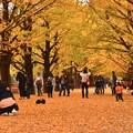 Photos: 昭和記念公園のいちょう並木の様々なひと時 20171104