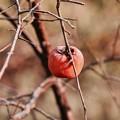 写真: 日に日に寒くなって千葉 上総鶴舞 残った柿の霜 20171210