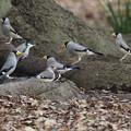 写真: コイカル幼鳥?1224 (1)