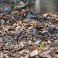 写真: コイカル幼鳥?1224 (2)