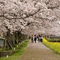 写真: ふれあい広場の桜-1