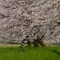 写真: ふれあい広場の桜-2