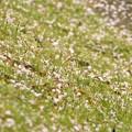 写真: ふれあい広場の桜-4