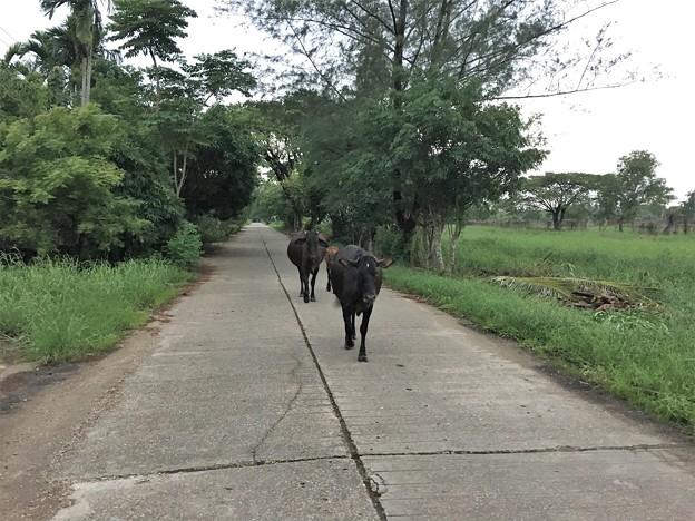花園を歩く牛 (1)