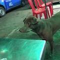 ロタの泣き犬