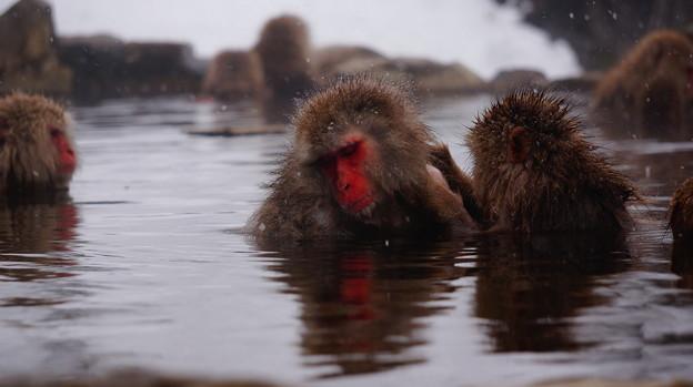 長野猴子泡湯01