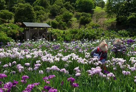 菖蒲と花摘み