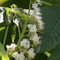 トチノキ、開花