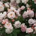 roseMay-Utsubo_DSC03710_ed