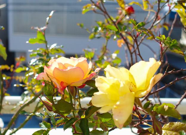 Photos: roseDSC00616_ed