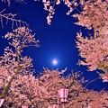 写真: 三嶋大社の夜桜が恋しくて・・・桃色吐息