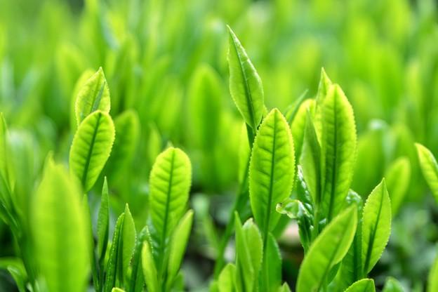 Green Tea Leaf・・・夏も近づく
