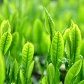 写真: Green Tea Leaf・・・夏も近づく