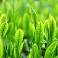 Photos: Green Tea Leaf・・・夏も近づく