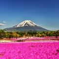 富士には芝桜が良く似合う・・・(*´з`)