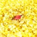 写真: Yellow Magic Autumn