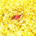 Photos: Yellow Magic Autumn