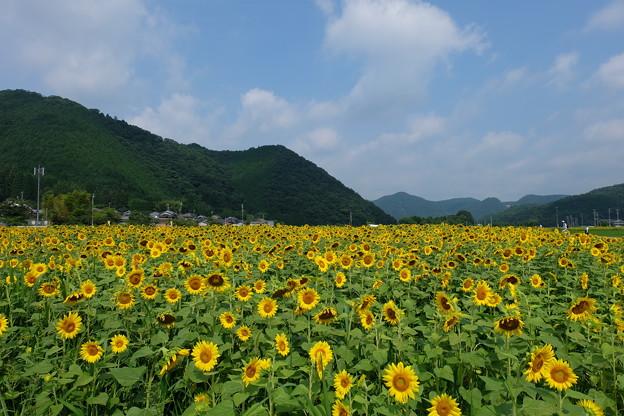 宝蔵寺地区のひまわり畑