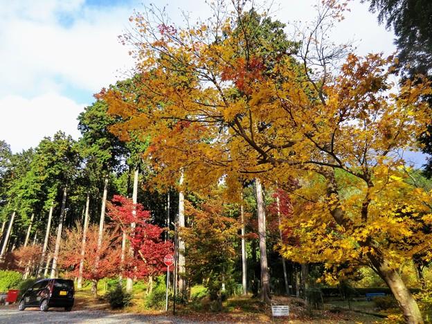 高山寺の黄色いモミジ