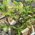 Photos: 木の芽