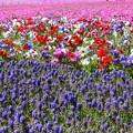 写真: 富士芝桜まつり5