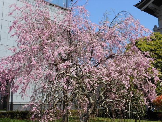 Photos: 東京国立博物館の桜♪
