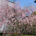 東京国立博物館の桜♪