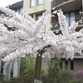 NZ・クイーンズタウンの満開の桜