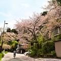 瀬田川沿いの桜