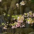 岩積みの庭園と桜
