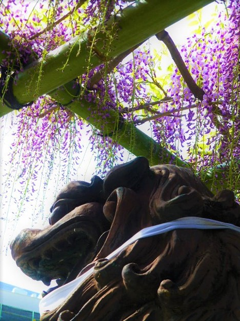 福島聖天了徳院 藤の花と狛犬