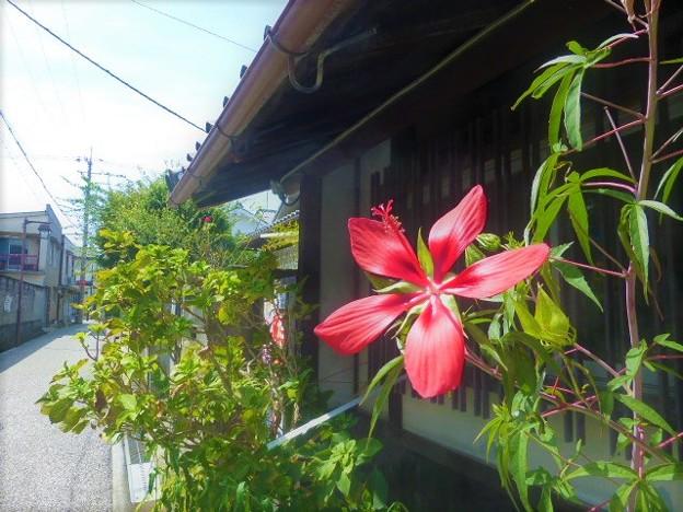 写真: モミジアオイ咲く富田林寺内町