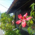 Photos: モミジアオイ咲く富田林寺内町