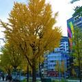 Photos: なにわ筋のイチョウ並木