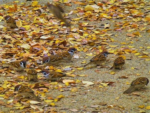 落ち葉に舞い降りたスズメたち