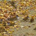 写真: 落ち葉に舞い降りたスズメたち