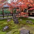 写真: 京都の中でも比較的遅くに見頃を迎える