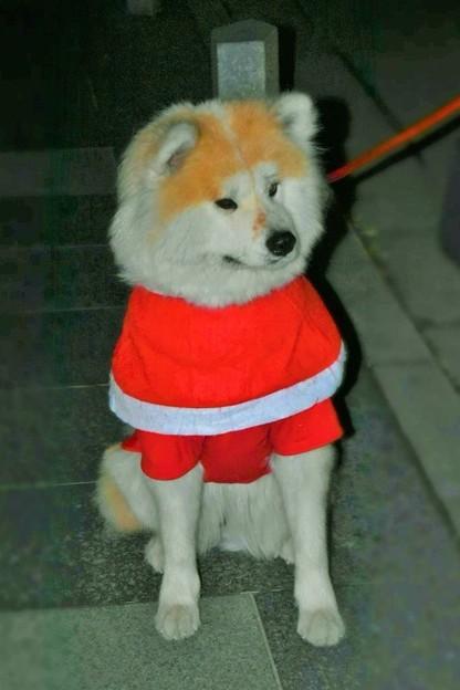 写真: サンタ犬
