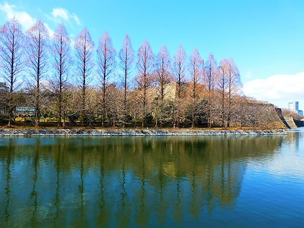 大阪城のメタセコイア並木