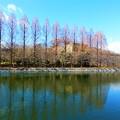 写真: 大阪城のメタセコイア並木