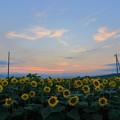 写真: 平沼のヒマワリ畑