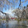 0423_桜と橋